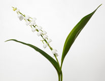 Convallaria majalis, Lily of the Valley, Royalty Free Stock Photos