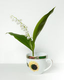 Convallaria majalis, Lily of the Valley, Stock Photo