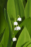 Convallaria majalis  /  Lily of the Valley Royalty Free Stock Photo