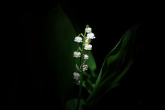 Convallaria majalis or Lily of the valley on black background Royalty Free Stock Photos