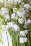 Convallaria majalis, LILY OF THE VALLEY on the white background Stock Images