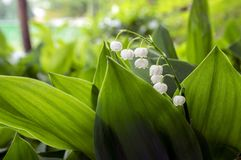 Convallaria majalis toxic beautiful forest ornamental flowers in bloom with leaves. Springtime flowers in foliage Royalty Free Stock Photo