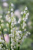 Convallaria majalis toxic beautiful forest ornamental flowers in bloom with leaves. Daylight Stock Photo
