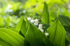 Convallaria majalis toxic beautiful forest ornamental flowers in bloom with leaves. Forest plant Stock Image