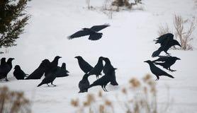 Convenzione del corvo Fotografia Stock