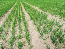 Converged rows of onion plants Royalty Free Stock Photos