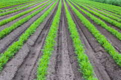 Convergent rows of young carrot plants Stock Images