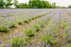Converging beds with purple flowering lavender plants in the fie Royalty Free Stock Photo