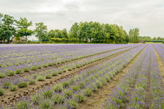 Converging beds with purple flowering lavender plants in the fie Royalty Free Stock Photography