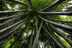 Converging green bamboo Stock Photos