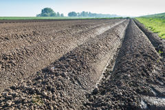 Converging lines of potato ridges shortly after planting Royalty Free Stock Photos