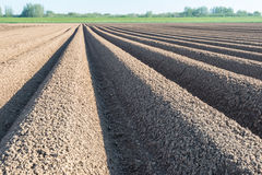 Converging lines of potato ridges shortly after planting Stock Photos