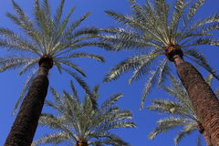 Converging Palm Trees. Looking upward below 2 converging palm tress with 2 partial palm trees in the background against a deep blue sky. Palm frons have Royalty Free Stock Images