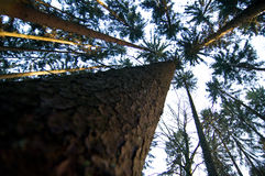 Converging pine trees. With one large trunk Stock Photo