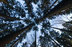 Converging pine trees. In a forest Royalty Free Stock Photo