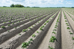 Converging ridges with young fresh green potato plants Stock Photos