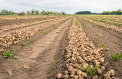 Converging rows of onions drying on the field. Of a Dutch farmer. It is a cloudy day in the summer season. In the background the mechanized harvester is at work Stock Photos
