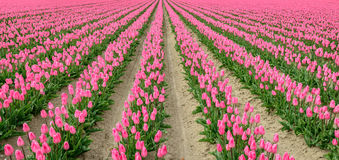 Converging rows of pink flowering tulip bulbs Royalty Free Stock Photos