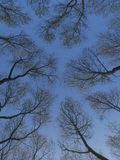Converging to the sky. View of trees converging to the blue sky in Sopelana, Basque Country Stock Photography