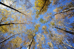 Converging at the top of the trees. In autumn forest against the blue sky Royalty Free Stock Photography