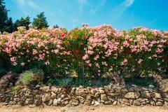 Conversão de arbustos de florescência Flores cor-de-rosa Jardim Foto de Stock Royalty Free