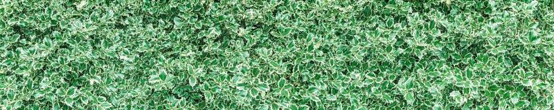 Conversão do arbusto do azevinho do Natal Imagem de Stock Royalty Free