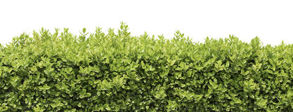 Conversão ou arbusto isolada Imagem de Stock Royalty Free