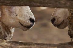 Conversação do Barnyard Imagem de Stock Royalty Free