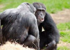 Conversação do chimpanzé fotografia de stock