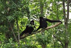 Conversa do macaco. Imagens de Stock