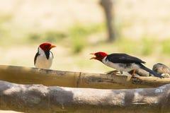 Conversación graznadora entre cardenales Amarillo-cargados en cuenta Imagenes de archivo