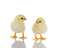 Conversation. Photo of two cute baby chicks, with reflection, over white background Royalty Free Stock Images