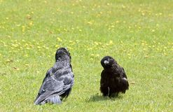 The conversation of two young ravens Royalty Free Stock Images
