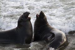 Conversations entre de jeunes phoques d'éléphant photo stock