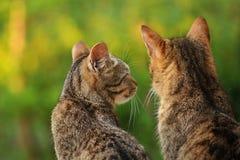 Conversazione dei gatti Fotografie Stock Libere da Diritti
