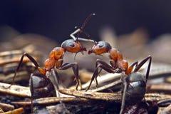 Conversazione della formica Fotografie Stock Libere da Diritti