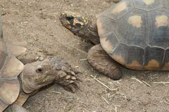 Converser de tortues Photos stock