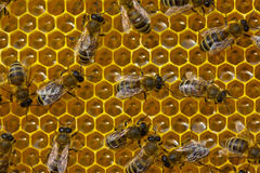 Conversion nectar into honey Royalty Free Stock Photos
