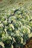 Convert fresh green cabbage. royalty free stock image