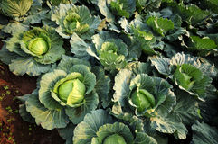 Convert fresh green cabbage. Royalty Free Stock Images
