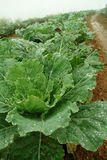 Convert green cabbage fresh. Fresh green cabbage from convert vegetable on hill, Dew on the leaves of cabbage in the morning fog on morning winter season royalty free stock image