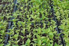 Convert plant seedlings Paprika. Stock Photography