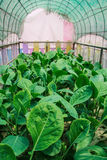 Convert vegetables Non-toxic. Green healthy choices Royalty Free Stock Photos