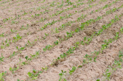 Converting agricultural acres are planted tobacco OT. watering Royalty Free Stock Photo