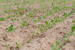 Converting agricultural acres are planted tobacco OT. watering Stock Photos