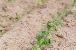 Converting agricultural acres are planted tobacco OT. watering Royalty Free Stock Photography