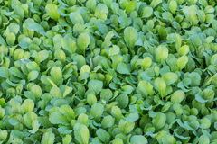 Converting agricultural turnip greens. Agricultural plots green lettuce Before harvest Stock Photo