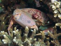 Convex crab Stock Image