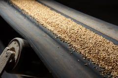 Conveyor belt with barley royalty free stock image