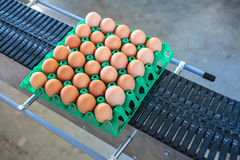 Conveyor belt transporting a crate with fresh eggs. On an organic chicken farm Royalty Free Stock Image